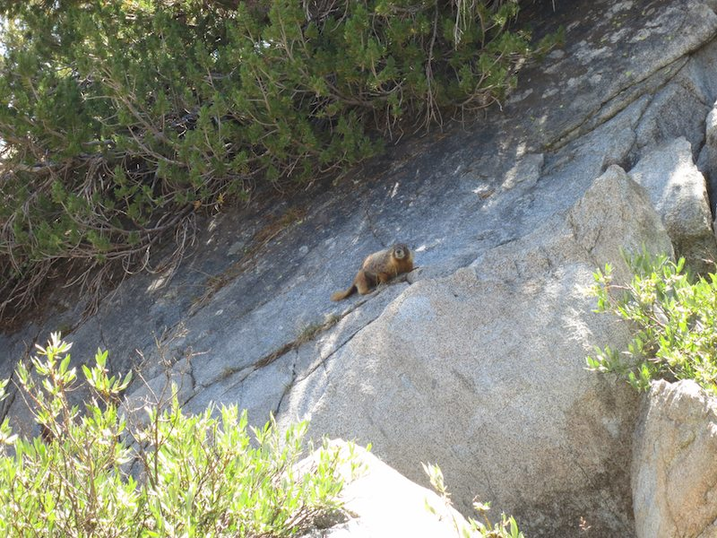 Yellow-bellied marmot, doing its thing near Donahue Pass.