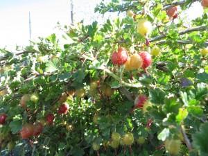 Prickly gooseberries.