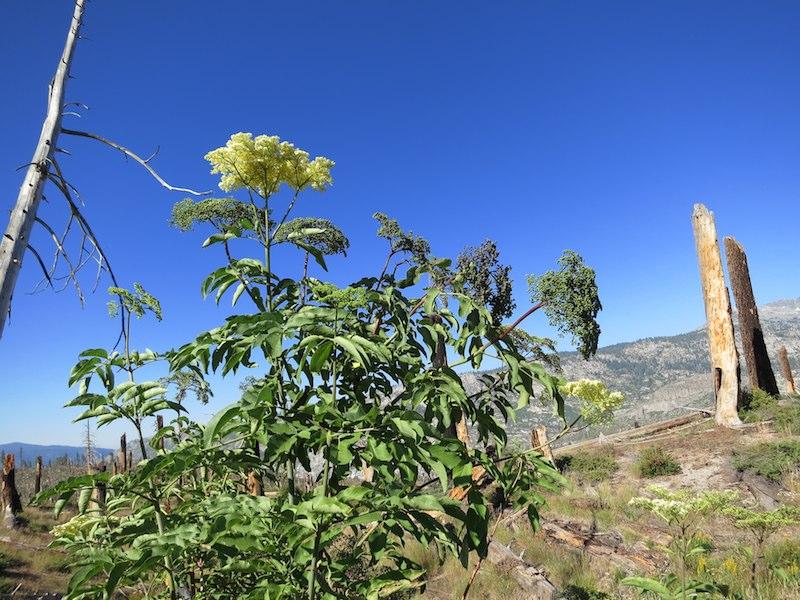Elderberries ripening to blue.