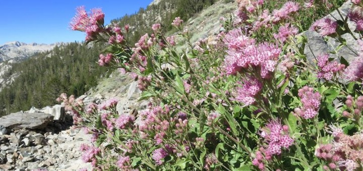 Anyone know what these pink flowers are? On the slope above Tully Hole.