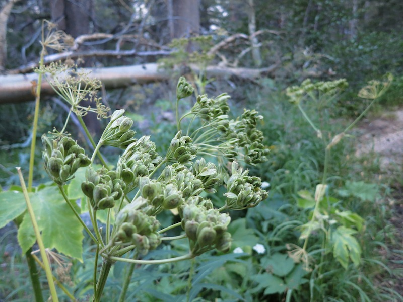 A hulking Queen Anne's Lace relative going to seed. Cow parsnip?