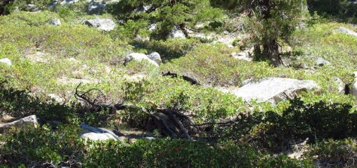 black bear in Sequoia Kings near Palisade Creek