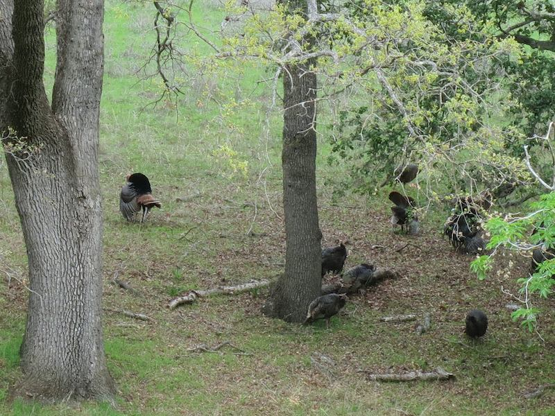wild turkeys in mount diablo state park