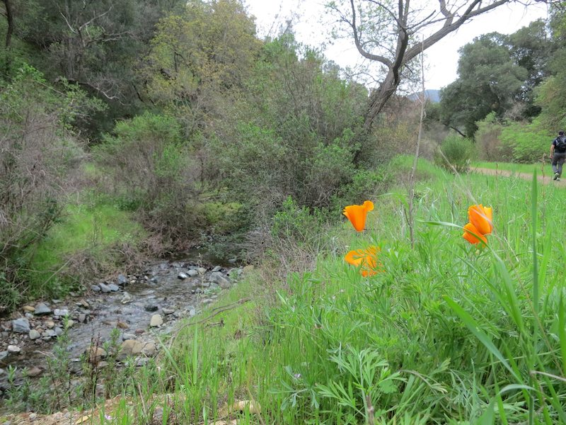 California poppies along Deer Flat Creek
