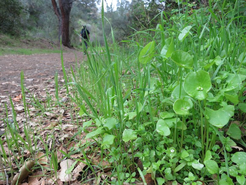 Miner's Lettuce by the side of Mitchell Canyon Rd