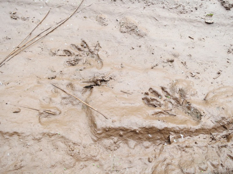 raccoon prints on mitchell canyon rd