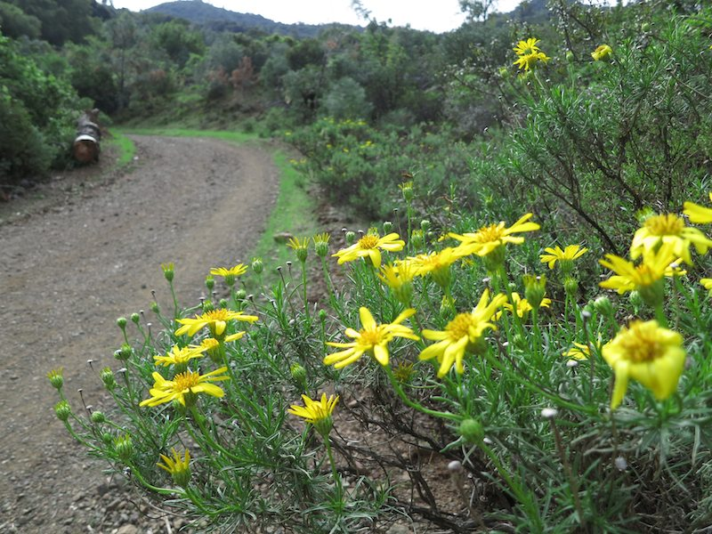 narrowleaf goldenbush on mitchell canyon rd