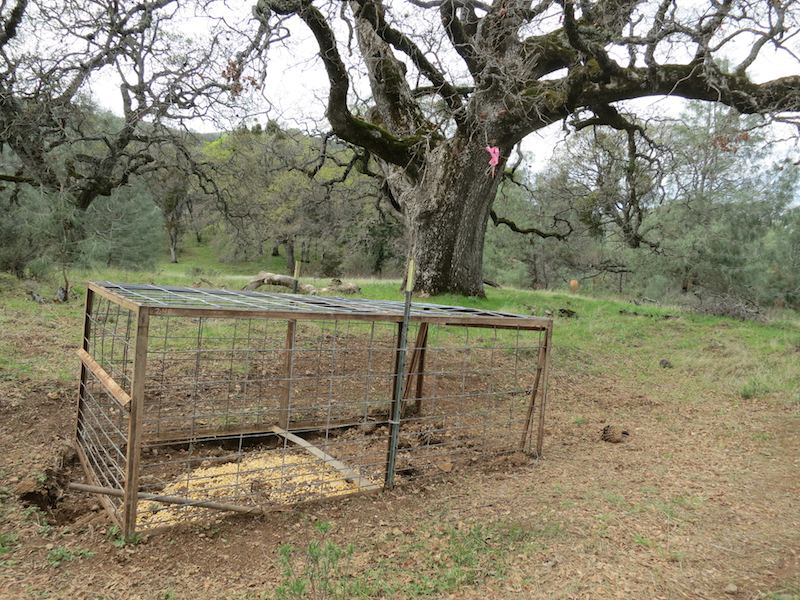 Turkey trap baited with grain in mount diablo state park