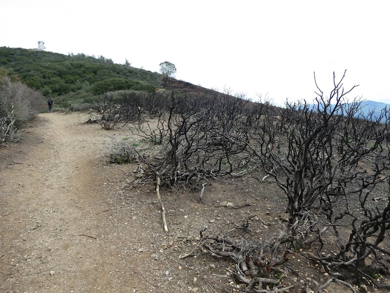 burned brush along juniper trail in mount diablo state park
