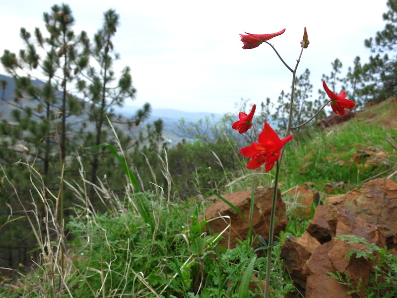 Red Larkspur next to Eagle Peak Trail
