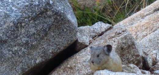 pika on the golden staircase switchbacks