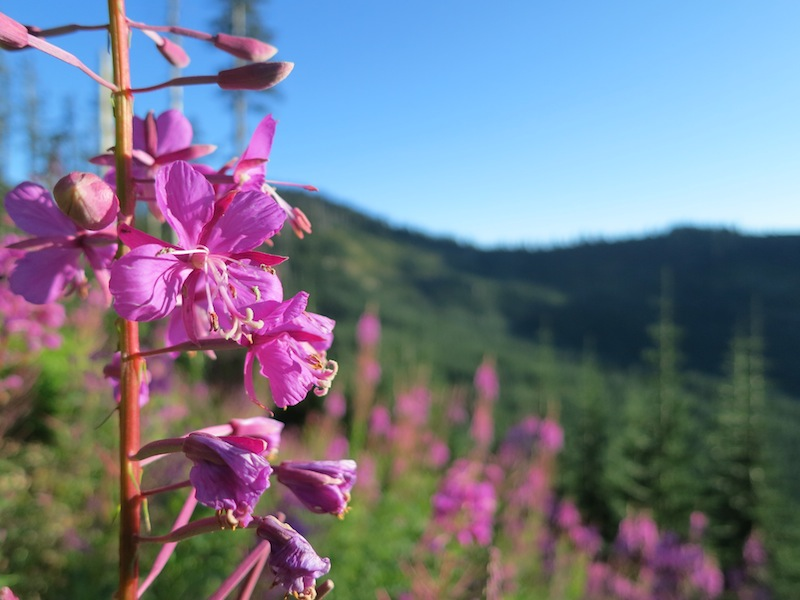 Fireweed and logged forests north of Tacoma Pass.