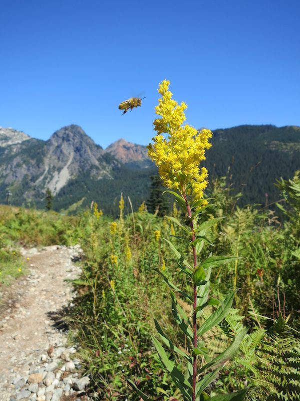 Bee over goldenrod on the Snoqualmie Pass ski slope.