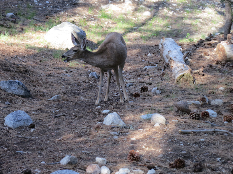 Mule deer on the trail making noise