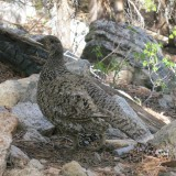 a grouse in the High Sierra near Kearsarge Pass